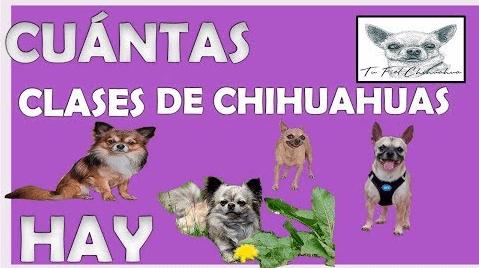 cuantas clases de chihuahua hay