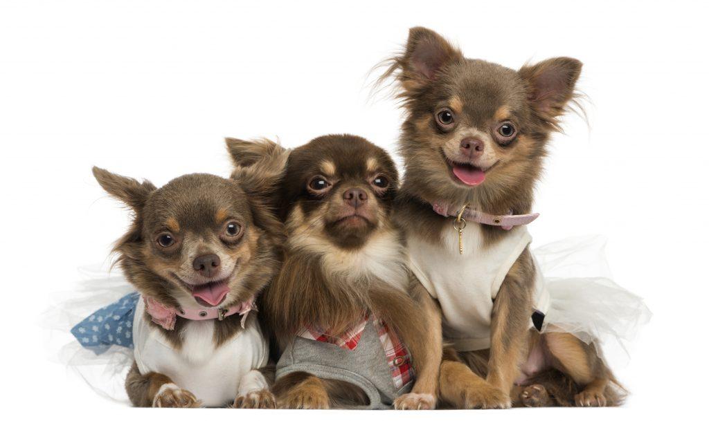 Ropa para perros chihuahuas