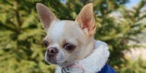 Chaqueta vaquera de invierno para Chihuahua photo review