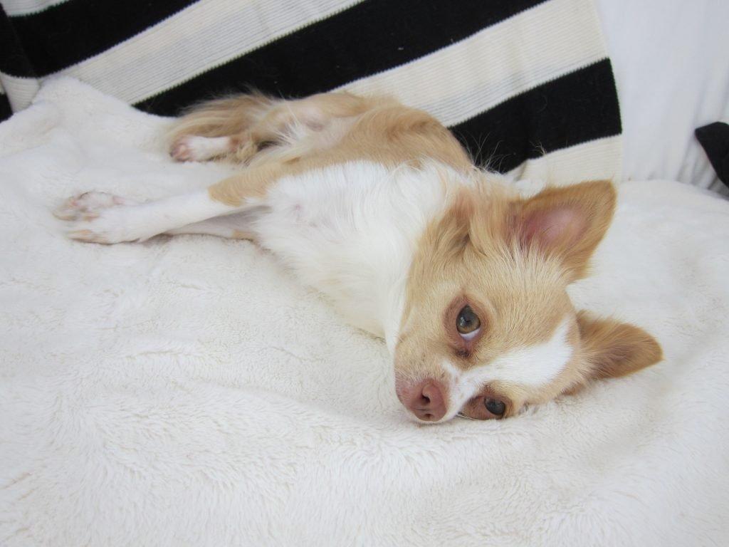 Vómito en perros Chihuahua 4