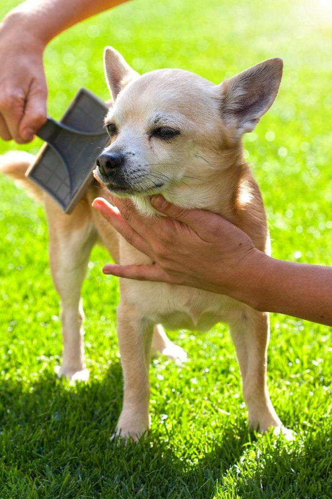 Cepillado del pelo perro chihuahua