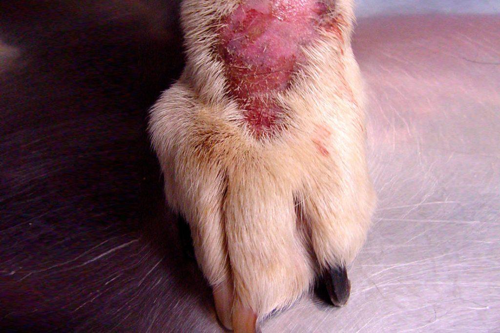 pioderma perro chihuahua