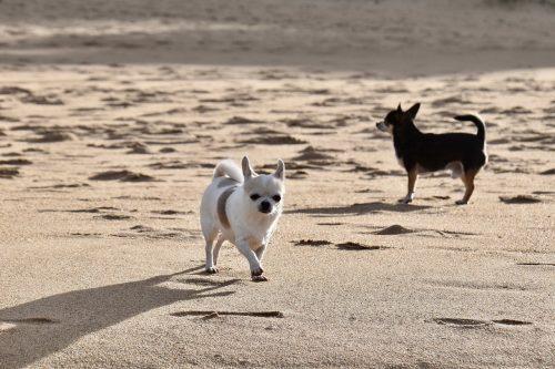 El celo de las perras chihuahua 4