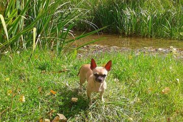 Cuando bañar a nuestro perro chihuahua cuidados del chihuahua Tu Fiel Chihuahua