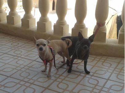 El celo de las perras chihuahua ¿Cuando cruzar a nuestra perra chihuahua?