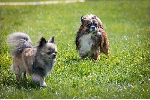razas de perros chihuahua