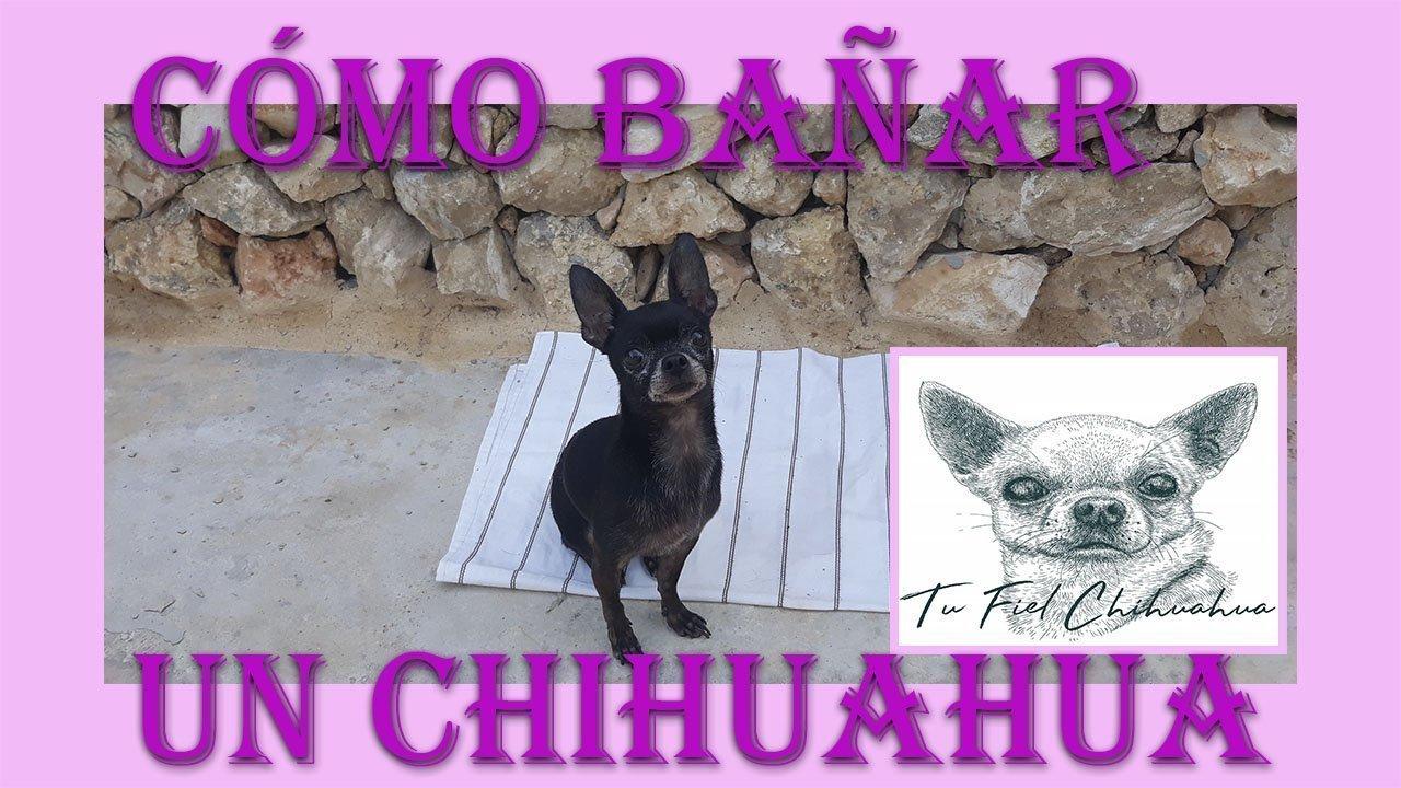 Como bañar a un perro Chihuahua
