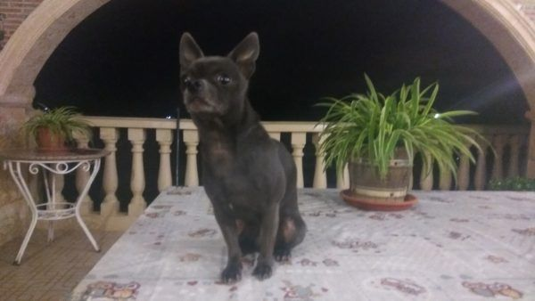 Chihuahua azul