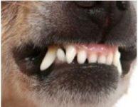 chihuahua dientes , definitivos