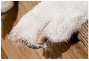 como cortar uñas a un perro chihuahua